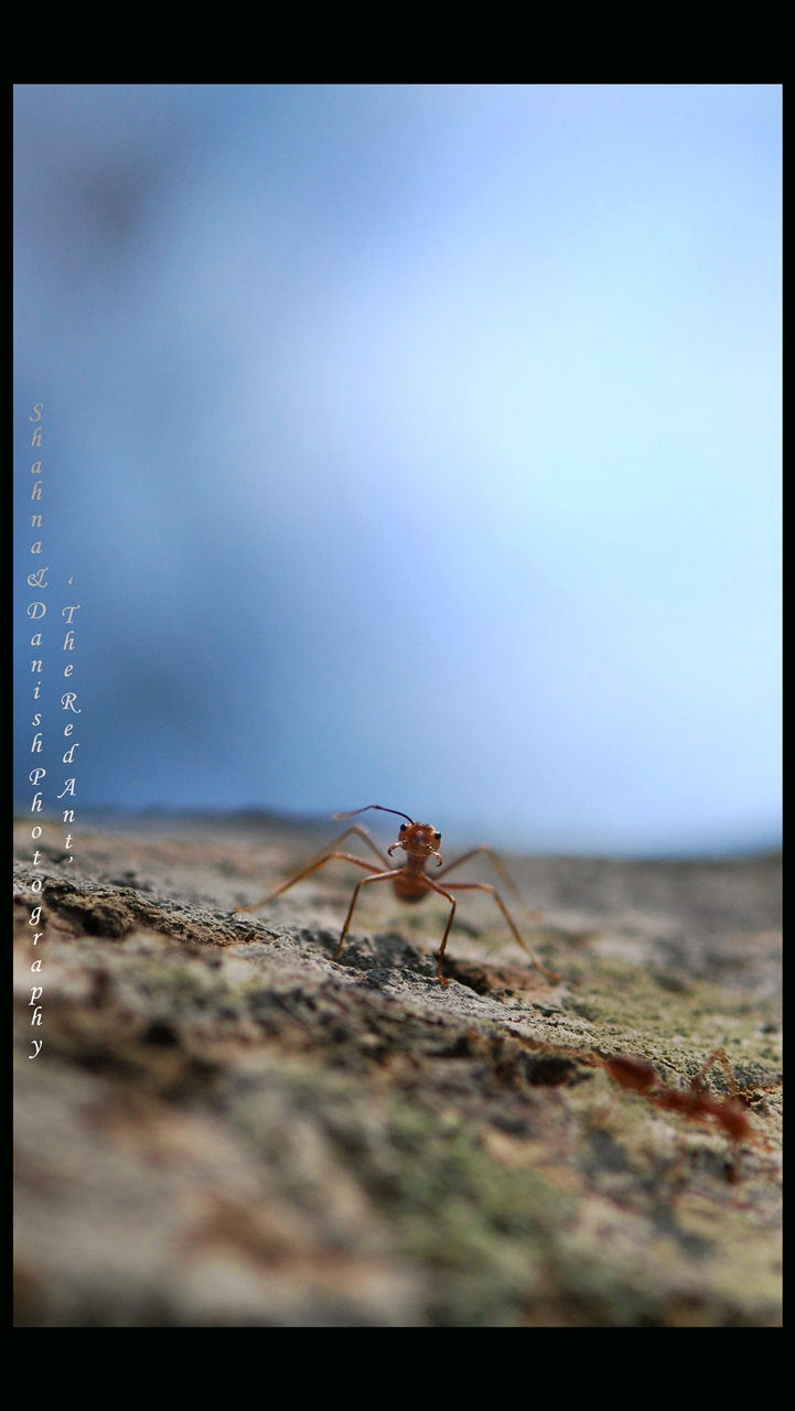 the red ant
