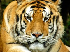 Hunter (lrene) Tags: eyes tiger occhi sguardo hunter tigre hunt caccia aplusphoto platinumheartaward lrene