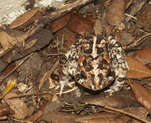 Oak Toad 2