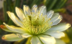 Golden Torch Cereus Cactus Flower in the Morning Light (ellene000) Tags: arizona cactus white plant flower macro closeup cacti flora desert bloom cactaceae spines blooming cereus echinocereus spiney echinopsis southamerican trichocereus fluer torchcactus goldentorch spachiana spachianus santiaguensis orrelkaktus