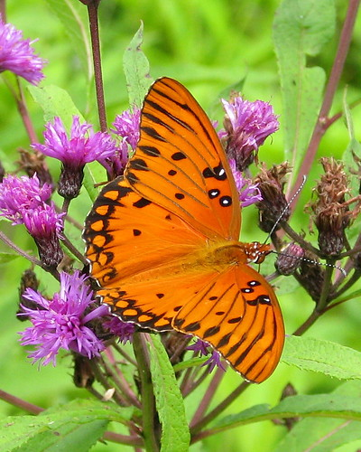 September Gulf Fritillary on Ironweed