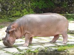 Srie: Visitantes do Poleiro (POLEIRO DE CORES) Tags: animal zoo grande doisirmos hipopotamo