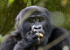 Uganda, Bwindi (richard.mcmanus.) Tags: africa gorilla ape uganda bornfree mcmanus bwindi supershot themagicofnature natureall freenature bfgreatesthits naturalexcellence naturelovely thatsgettingupclose wildlifeaward naturegreenstar africapool worldnatureclose rushegura