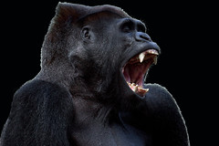 Primal Scream (edpuskas) Tags: animal canon monkey gorilla mark ii scream 5d primate sanfranciscozoo primal silverback silverbackgorilla