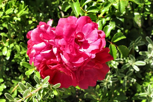 Rosa 'Heidetraum' (rq) - 01