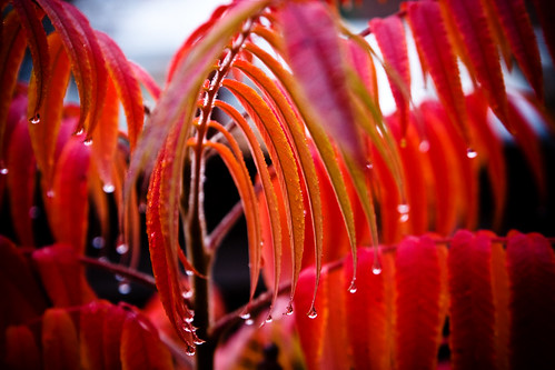 Colourful Autumn Sumac Leaves