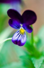 30 Days of Gratitude- Day 4 (aussiegall) Tags: flower garden pansy day4 30daysofgratitude