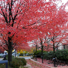 Pink Trees (Oh Kaye) Tags: pink trees brick leaves oregon portland walk center convention bushes top20autumn