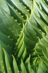 conan how to get aloe leaves