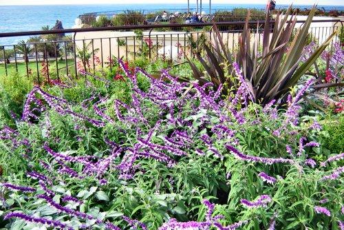 Salvia leucantha (rq) - 01