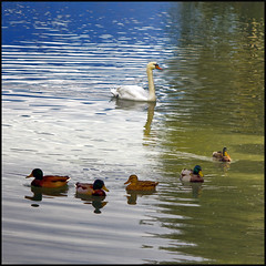 On golden Pond (Pilar Azaa) Tags: reflections swan pond agua ducks waters estanque cisne patos bej abigfave citrit betterthangood goldstaraward thesuperbmasterpiece 100commentgroup vosplusbellesphotos pilarazaa theoriginalgoldseal