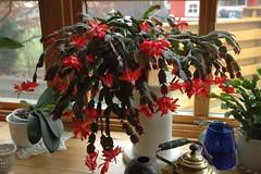 Julekaktusen i vinduet (flutnace) Tags: zygocactus julekaktus