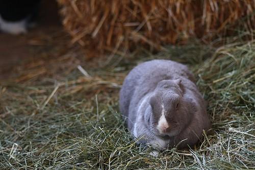 Guinea Pig Rabbit Hybrid Oscar