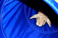 (emma daly.) Tags: blue summer cute rabbit bunny sunshine animals happy ginger nikon funny sweet cinnamon adorable ears tunnel playful lop d40