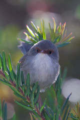 Tubby (ppv247) Tags: new blue bird animal wales female canon pevy flying wings superb south australian feathers australia fairy nsw wren 100400mm tubby dubbo australiana ppv 40d ppv247 peterpevy