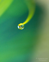 but it rained... (Sudheendra Kadri) Tags: color macro green nature water beautiful rain leaf dof droplet hanging balance delicate sudheendrakadri