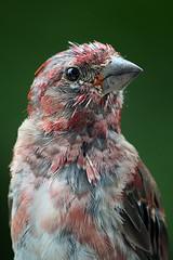Young Finch (Clyde Barrett) Tags: male bird newfoundland young finch change nl moult molt juvenile purplefinch nfld carpodacuspurpureus clydebarrett vosplusbellesphotos