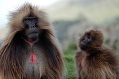 Admiration (somnetbati) Tags: color colour couple display chain baboon ethiopia grazing ecotourism gelada behaviour semien debark herbivour theropithecus
