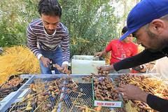 "L'exportation des dates algrienne "" Deglet Noor "" (menosultra) Tags: algeria desert dates algrie noor  algerian biskra  economie dalgrie         deglet  reldbmgf2e5cd1a2e01"