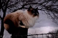 Sandy (DeGallery) Tags: sky animals cat nikon slow blueeyes lookingup darkclouds fencepost petportrait blueeyedcat calendarshot capturenx