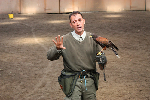 Phil the Falconer expalining all about Blue the Harris Hawk