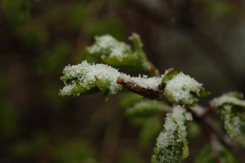 Snow on young leaves