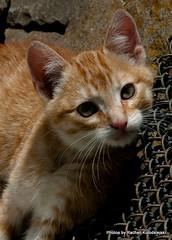 Corajoso (Rachell Kolodsiejski) Tags: natureza gatos felinos sãofranciscodepaula fotógrafarachellkolodsiejski animaisdefazenda fazendataperinha câmeranikond200