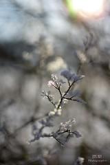 ohne Titel (LENS.ART Photographie) Tags: winter eis frost weis bokeh eiskristalle zweig pflanze d7200 nah macro natur licht