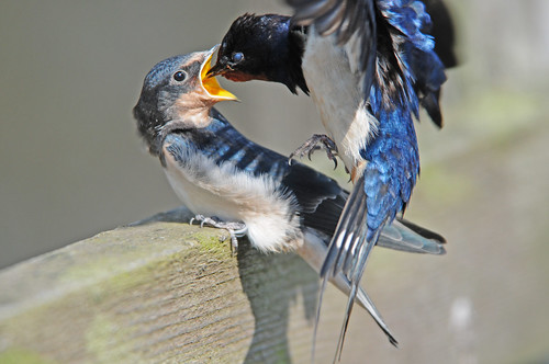 Young Swallow (Hirundo rustica) Being Fed by its Parent In Flight