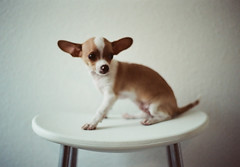 cheers, big ears (andrew sea james) Tags: portrait dog chihuahua blur film 35mm puppy 50mm lasvegas kodak tl ears x m42 electro expired 160vc portra yashica k9 screwmount f17 yashinon