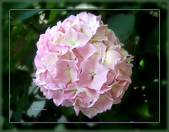 ~ Hortensia ~ (bodulka) Tags: pink flowers macro nature garden vrt croatia 1001nights priroda soe hortensia cubism blueribbonwinner postira cvijece supershot fantasticflower goldenmix golddragon platinumphoto ultimateshot citrit colourartaward wonderfulworldmix flickrestrellas macroflowerlovers natureselegantshots spiritofphotography mimamorflowers flickrlovers mallmixstaraward