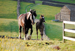 "DSC_0017ii - Mother & foal as the shadows grow (SWJuk) Tags: uk horses landscape farm basil blitz dales yorkshiredales hawes coth platinumphoto anawesomeshot thatsclassy theperfectphotographer goldstaraward june2009 naturethroughthelens rubyphotographer ""nikonflickraward"" alittlebeauty ""flickraward"" lovely~lovelyphoto gaudyhousefarm swjuk nikond40afs55200 mygearandmepremium mygearandmebronze mygearandmesilver mygearandmegold mygearandmeplatinum mygearandmediamond"