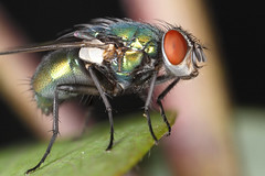 When others would grab their flyswatter, I grab my camera. (Erica_Marshall) Tags: macro green closeup bug insect fly flying bottle shiny cc creativecommons flies iridescent pest noncommercial bottlefly iradescent
