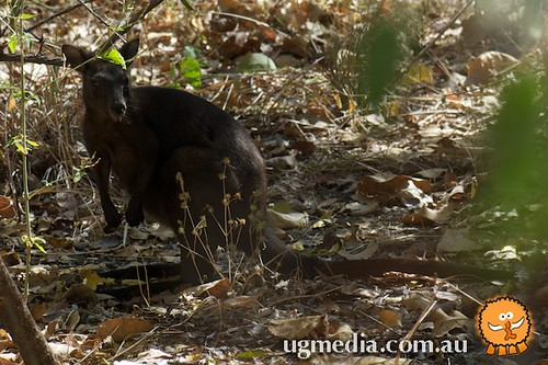Black wallaroo (Macropus bernardus)
