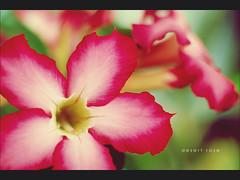 Desert Rose (khaniv13) Tags: flower macro closeup garden nikon dof kudu adenium desertrose obesum d40x sabistar afs35mmf18 khaniv13 ieditedthebackgroundtonetheoriginalwasnotsogreen