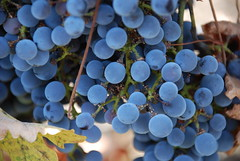 Moleculare (Or Hiltch) Tags: blue israel wine north winery grapes heights golan    orhiltch