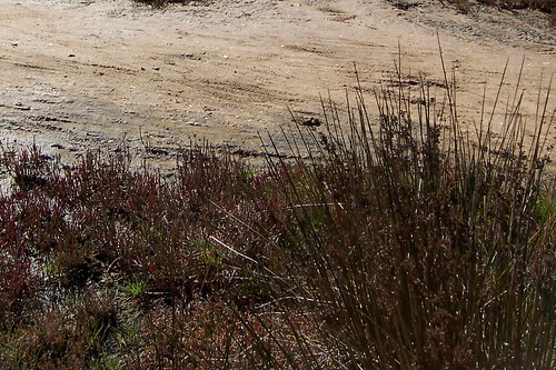 Salt marsh plants, Bensville