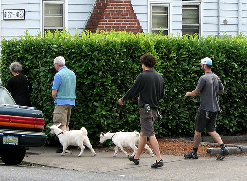Walking the goats (Hawthorne Blvd., Portland, Oregon)