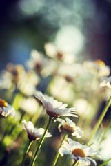 {EXPLORE} happy friday! (Frau Koriander) Tags: flowers dof bokeh explore 60mm leucanthemum margeriten nikond80