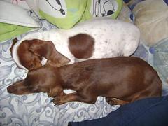 Florzinha & Nescau (Dachshund Clube) Tags: dog co branco dachshund cachorro piebald weiner dackel teckel bicolor doxie malhado florzinha canil fafoslandia dachshundclube
