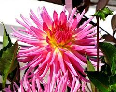 Dahlia 'Camano Messenger', Edwards Gardens, Toronto, ON (Snuffy) Tags: dahlia flowers toronto ontario canada northyork edwardsgardens