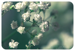 breathe on me (alvin lamucho ©) Tags: blue white flower green nature bokeh breath middleeast kuwait breathe babysbreath mangaf canon450d canonrebelxsi alvinlamucho