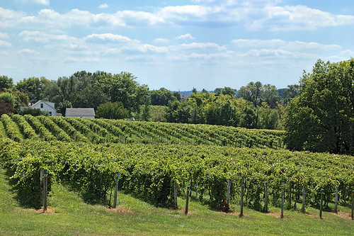 Vineyard in Augusta, Missouri, USA