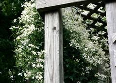 Autumn clematis (Shotaku) Tags: flowers summer white flower garden clematis vine 2009
