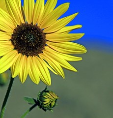 ~   ~ (mikenpo) Tags: blue flower green yellow canon dof bud sunshineonmyshoulder mikenpo