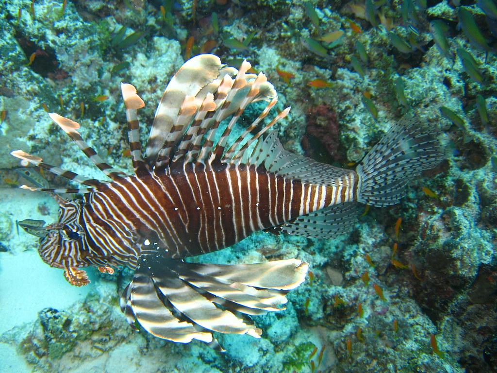 Common Lionfish (NL: Gewone Koraalduivel)  - Mnemba Atol, Zanzibar, Tanzania