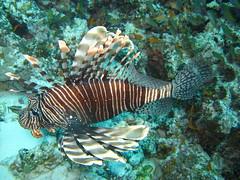 class: Actinopterygii. Common Lionfish (NL: Gewone Koraalduivel)  - Mnemba Atol, Zanzibar, Tanzania