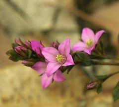 wildflower 39 (dalinean) Tags: flower sigma australia wildflower sd10 westaustralia boronia wildflowerseason