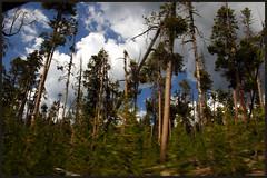 IMG_6787-b (YindiChen) Tags: trees yellowstonepark
