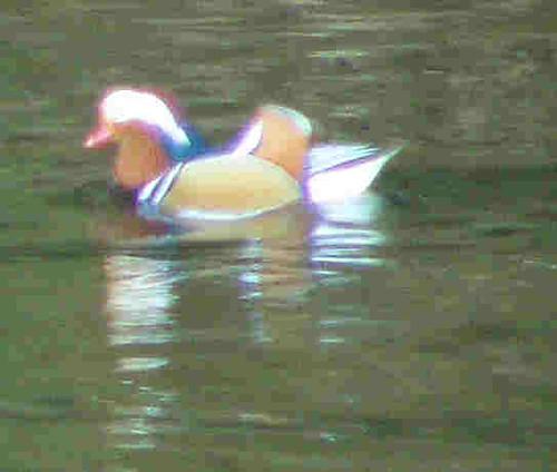 Impressionist Mandarin Duck